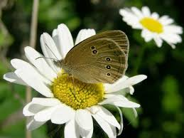 oxeye daisy leucanthemum vulgare flowers naturegate