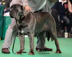 australian shepherd crufts 2015 breeds with the most significant difference between show and