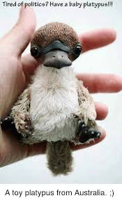 Platypus Meme - tired of politics have a baby platypus a toy platypus from