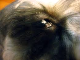 Temporary Blindness In Dogs Causes Of Kcs Or Dry Eyes And One Dog U0027s Diagnosis Pethelpful