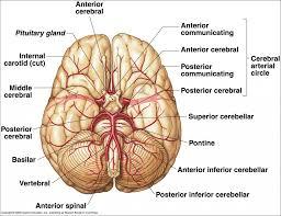 Gross Brain Anatomy Blood Supply Of Brain Anatomy Blood Supply Of The Brain Royalty