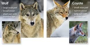 Can Coyotes See Red Light Wolf Identification Western Wildlife Outreach