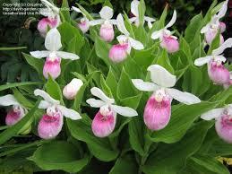 slipper flower showy s slipper orchid s s slipper perennial
