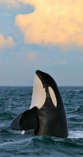 best 25 killer whales ideas on pinterest orcas whales and