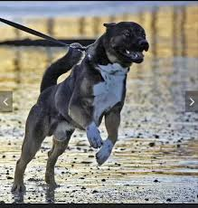 american pitbull terrier rottweiler mix what does an akita rottweiler mix look like 2017 quora