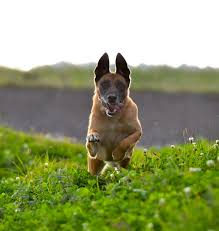 belgian shepherd dog temperament free images grass jump summer vertebrate attention dog
