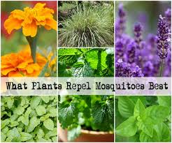 mosquito plants what plants repel mosquitoes best jpg