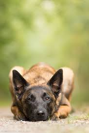 belgian sheepdog crossword 736 best dog love is big love images on pinterest animals