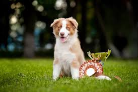 australian shepherd jogging dog show terminology from a z simply for dogs