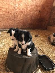 australian shepherd x kelpie australian shepherd puppies kijiji in alberta buy sell