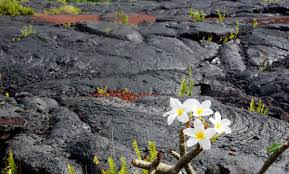 volcano flowers a darker shade of black everywhere once