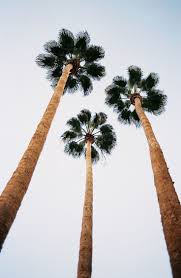 Palm Tree Wallpaper 200 Best Palm Trees Images On Pinterest Palms Palm Trees And Plants