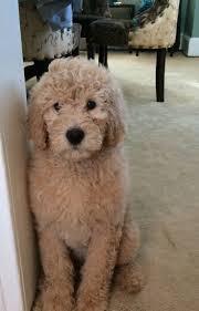 affenpinscher webster s best 25 doodle dog breeds ideas on pinterest doodle dog golden
