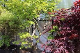 scion plant van der maat u2013 japanese maple nursery van der maat