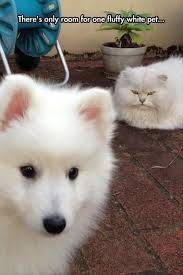 White Cat Meme - 19 white cat memes white cat meme white cats and cat