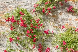 species roses for cold climates