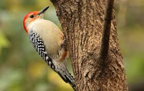 how to attract woodpeckers to your yard and why you u0027d want to
