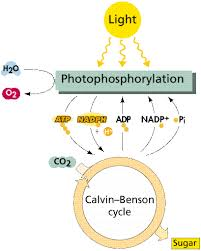 What Happens During The Light Reactions Of Photosynthesis Photosynthesis