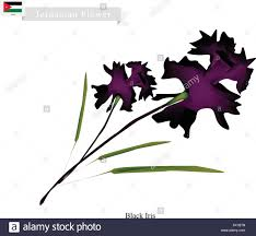 georgia flower illustration of black iris flowers one of the