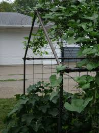 cucumber trellis for growing clean easy to pick pickle cucumbers