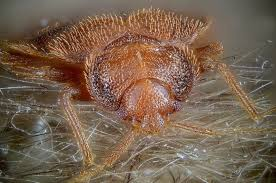 Will Heat Kill Bed Bugs What Temperature Kills Bed Bugs Bedbugs Net