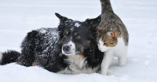 australian shepherd and cats like dogs and cats spiritual short stories com the 1 site for
