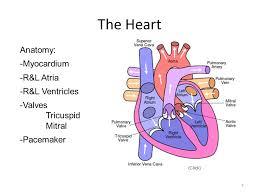 Heart Anatomy Youtube Human Anatomy U0026 Physiology Circulatory U0026 Respiratory Systems Ppt