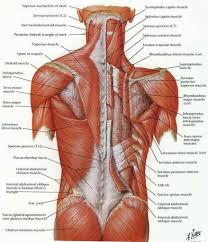Human Body Anatomy Pics Upper Back Muscle Anatomy Human Anatomy Lesson