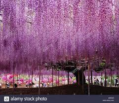 wistaria trellis flower ashikaga flower park ashikaga tochigi