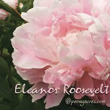 Wholesale Peonies Blush Pink Wholesale Peonies May June American Peony Farm