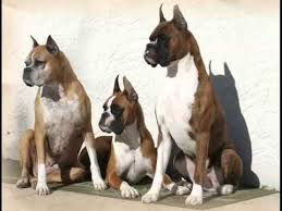 boxer dog health questions collcetion of dog breed boxer pictures boxer dogs youtube
