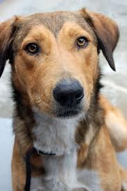 australian shepherd x pitbull 31 best dog images on pinterest animals puppies and dogs