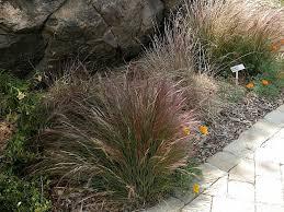 aristida purpurea purple three awn at sbbg a great non invasive
