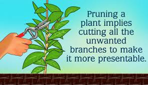 pruning native plants pruning rubber plant