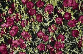 Types Of Planting Flowers - types of red bushes u0026 red plants and flowers home guides sf gate