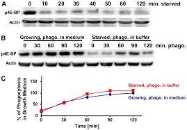 tor complex 2 torc2 in dictyostelium suppresses phagocytic