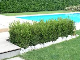 buxus sempervirens in vaso buxus sempervirens il giardino delle collezioni