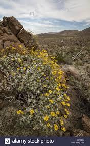 brittlebush encelia farinosa in flower in the californian desert