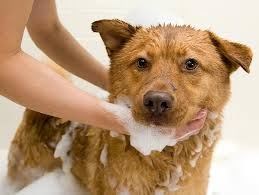 Dogs In The Bathtub How To Give Your Dog A Bath Petfinder