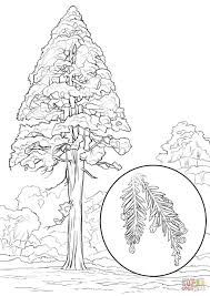 california redwood sequoia sempervirens coloring page free