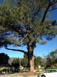 the world s largest torrey pine the tree to end all trees