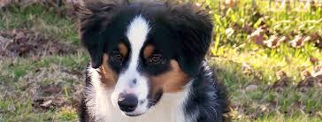 australian shepherd ear types miniature australian shepherd breed guide learn about the