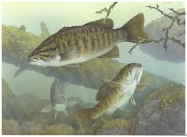bass fishes free images public domain images