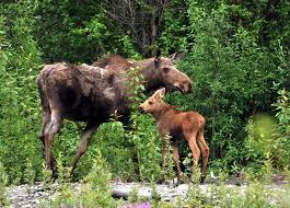Alaska wildlife images Alaska wildlife dean cummings 39 h2o guides alaska heliskiing JPG