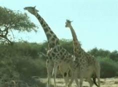 Drunk Giraffe Meme - pin by kirsten on giraffes 1 pinterest giraffe fight
