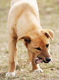 feed your dog raw meaty bones natural life magazine