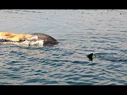 Great White Shark Attack Cape Cod - great white shark eats dead right whale off cape cod youtube