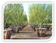 wholesale tree nursery wholesale commercial tree farm