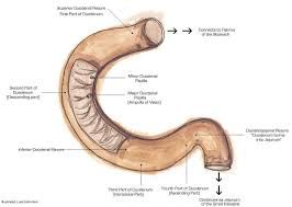 Anatomy Behind The Ear Suspensory Muscle Of Duodenum Wikipedia
