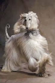afghan hound king of dogs afghan hound taupe pinterest afghan hound afghans and dog